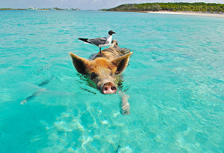 pig swimming in the bahamas to represent smart seo strategy